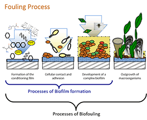 The processes of biofilm formation and biofouling
