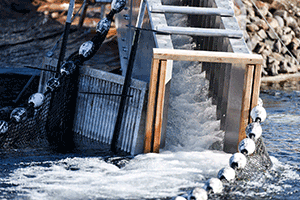 An Alaska steeppass and false weir were used to attract fish into the system