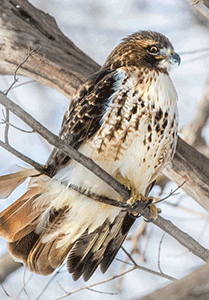Hawks like this one are benefiting from new adaptive management measures across the globe