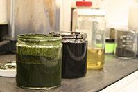 algae slurry